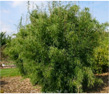 Jade-Bambus-Original / Jade-Bambus 'Jiuzhaigou 1'