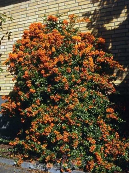 Pyracantha 'Orange Glow' / Feuerdorn 'Orange Glow'