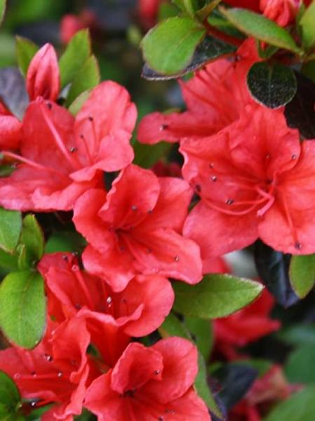 Rhododendron nakaharai 'Elfie' / Japanische Azalee 'Elfie'