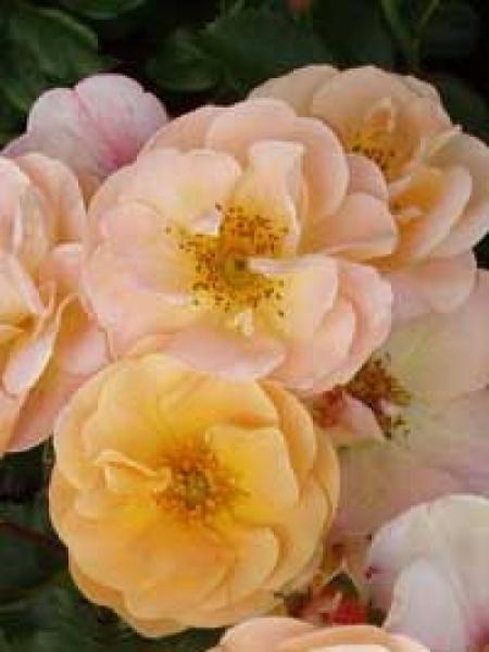 Rosa 'Sedana ®' / Stammrose 'Sedana'