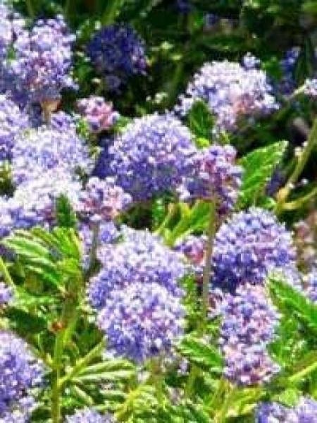 Ceanothus 'Blue Mound' / Säckelblume 'Blue Mound'