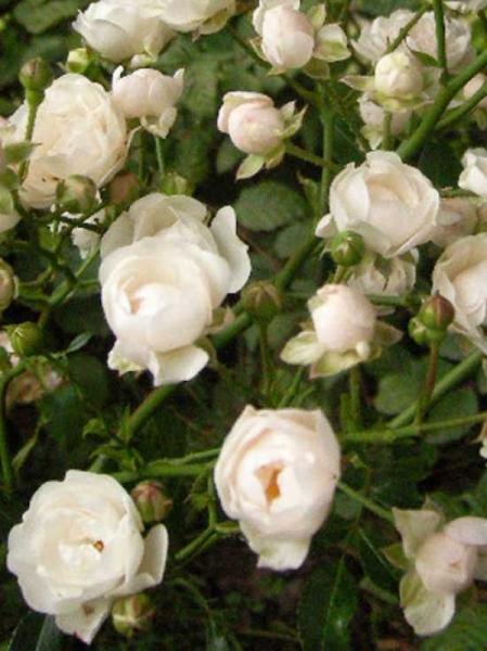 Rosa Crystal Fairy Bodendeckerrosecrystal Fairy Günstig Kaufen