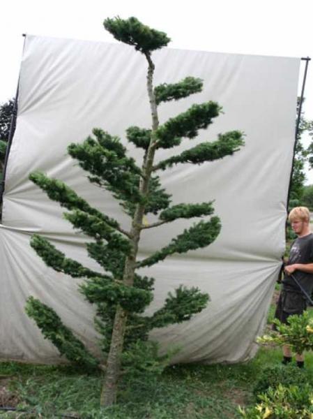 Larix decidua H: 300 cm B: 160 cm / Garten-Bonsai (801128)