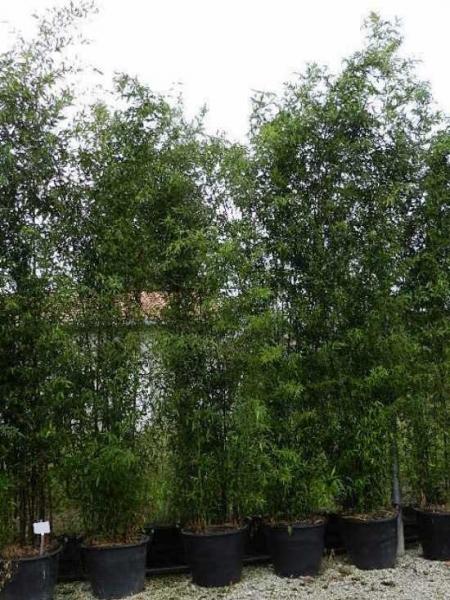 Phyllostachys nigra 'Boryana' / brauner Flecken Bambus 300-350 cm im 70-Liter Container