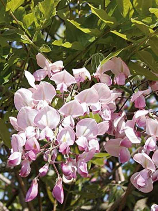 wisteria brachybotrys 39 showa beni 39 japanischer blauregen 39 showa beni 39 g nstig kaufen. Black Bedroom Furniture Sets. Home Design Ideas