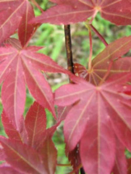 Acer palmatum 'Yezo-nishiki' / Japanischer Fächerahorn 'Yezo-nishiki'