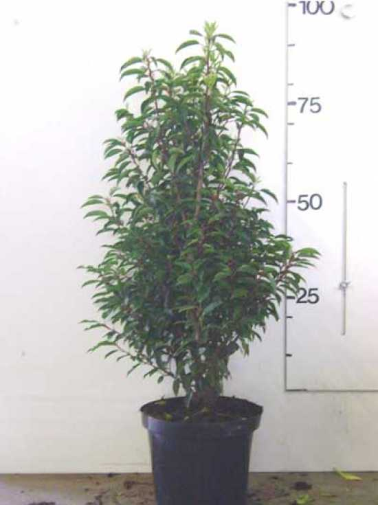 prunus lusitanica 39 angustifolia 39 portugiesischer kirschlorbeer 80 100 cm im 5 liter container. Black Bedroom Furniture Sets. Home Design Ideas