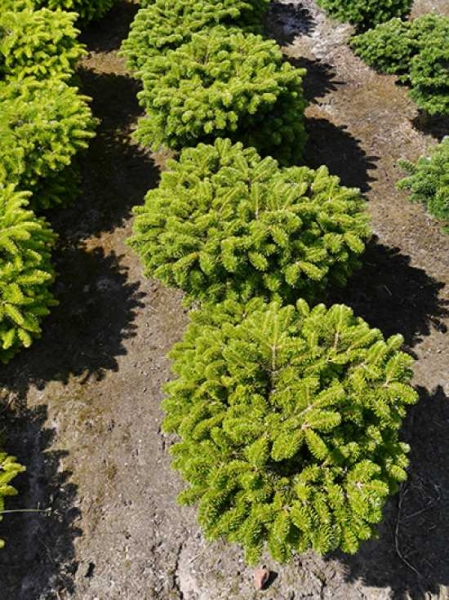 Abies alba 'Green Globe' / Weiß-Tanne 'Green Globe'