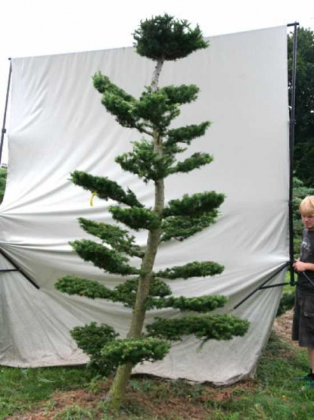Larix decidua H: 310 cm B: 160 cm / Garten-Bonsai (801107)
