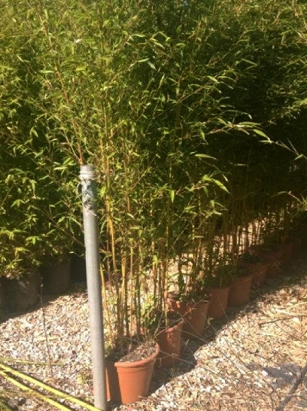 Phyllostachys aureosulcata 'Spectabilis' / Flachrohr-Bambus 150-175 cm im 20-Liter Container