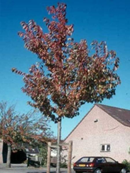 Prunus serrulata 'Sunset Boulevard' / Zierkirsche 'Sunset Boulevard'