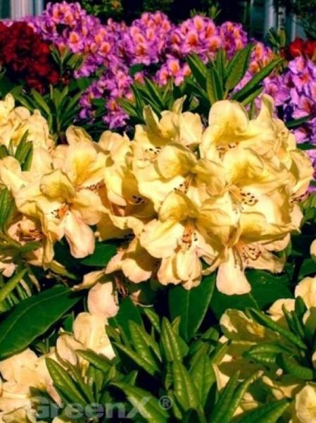 Rhododendron Hybride 'Belkanto ®' / Rhododendron 'Belkanto'