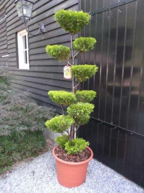 chamaecyparis lawsoniana 39 stardust 39 plateau garten bonsai g nstig kaufen. Black Bedroom Furniture Sets. Home Design Ideas