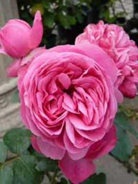 Rosa 'Leonardo da Vinci ®' / Stammrose 'Leonardo da Vinci'