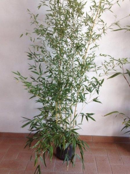 Phyllostachys aureosulcata 'Spectabilis' / Flachrohr-Bambus 150-175 cm im 12-Liter Container