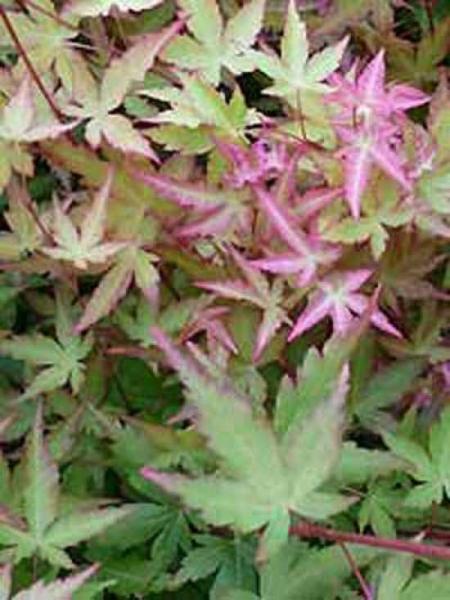 Acer palmatum 'Sango-kaku' auf Stamm / Korallenrinden-Ahorn
