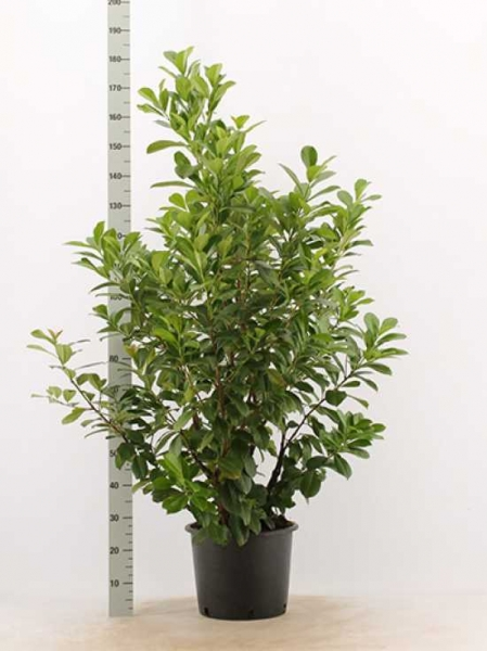 Prunus laurocerasus 'Etna' / Kirschlorbeer 'Etna' 125-150 cm im 20-Liter Container