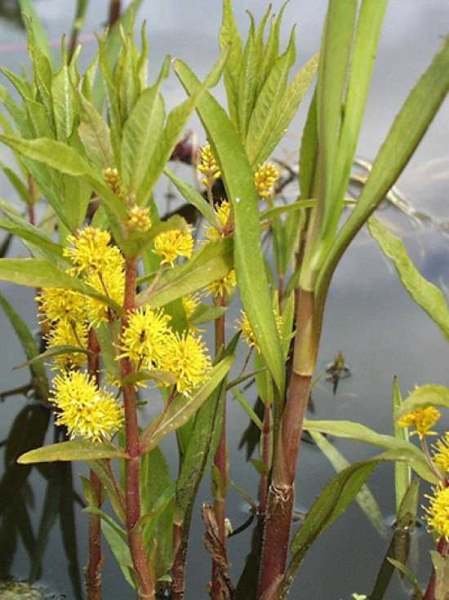 Lysimachia thrisflora / Strauß-Gold-Felberich
