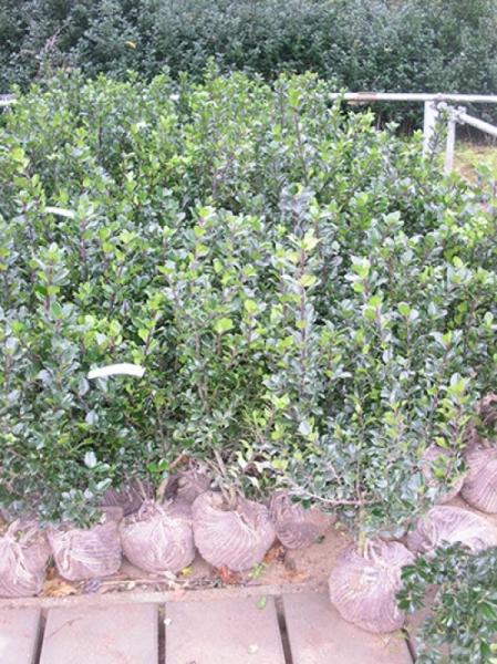 Ilex aquifolium / Stechpalme 80-100 cm mit Ballierung
