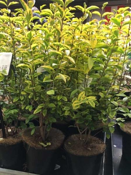 Ligustrum ovalifolium 'Aureum' / Gold-Liguster