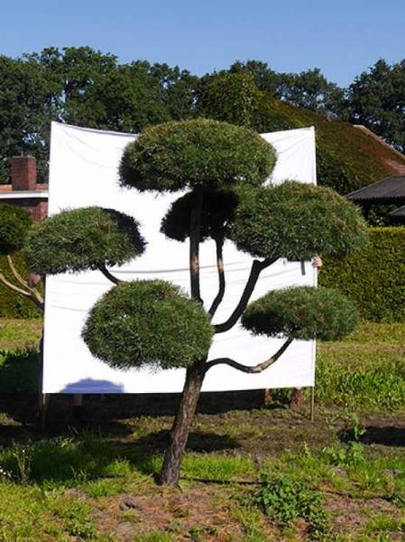 Pinus sylvestris H: 230 cm B: 220 cm / Garten-Bonsai (875)