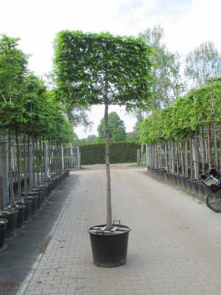 Carpinus betulus 'Spalier' / Hainbuche H: 120 cm B: 150 cm (Stamm 200 cm) im Container