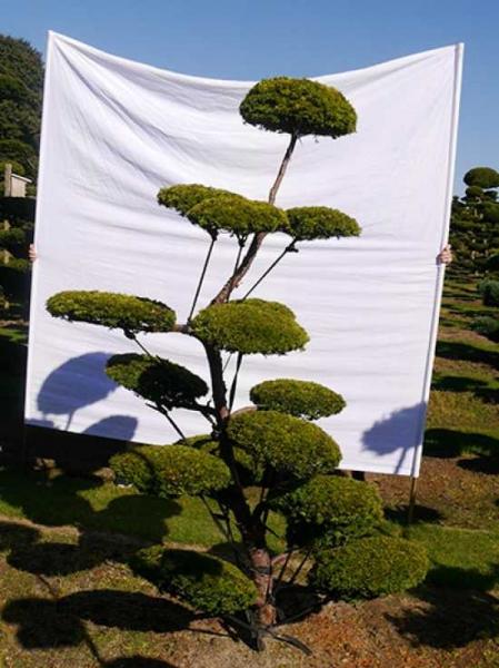 Taxus baccata 'Semperaurea' H: 240 cm B: 150 cm / Garten-Bonsai (0150)