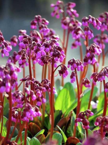 Bergenia purpurascens 'Wintermärchen' / Garten-Bergenie