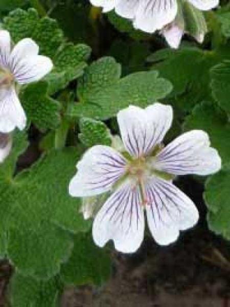 Geranium renardii / Kaukasus-Storchschnabel