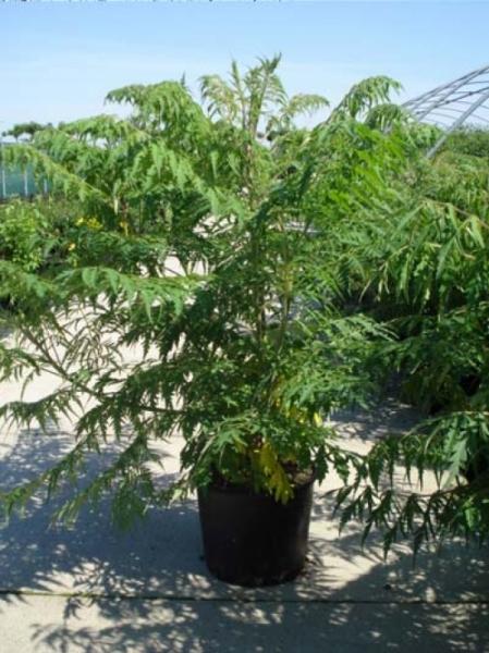 Rhus typhina 'Dissecta' / Farnwedel-Sumach / Geschlitzblättriger Essigbaum