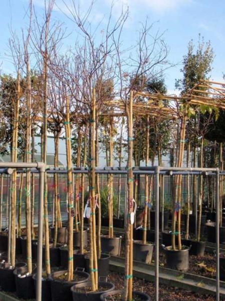 Acer palmatum 'Fireglow' auf Stamm / Roter Fächerahorn / Japanischer Ahorn