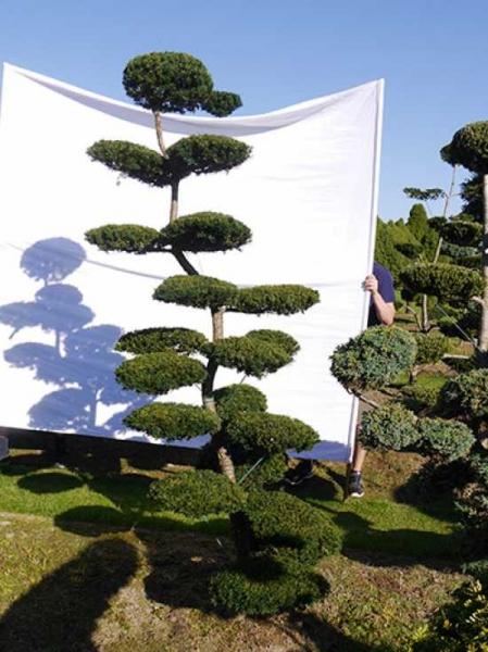 Taxus media 'Hillii' H: 240 cm B: 130 cm / Garten-Bonsai (0213)