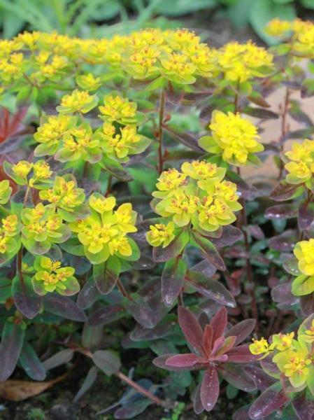 Euphorbia polychroma 'Bonfire ®' / Gold-Wolfsmilch