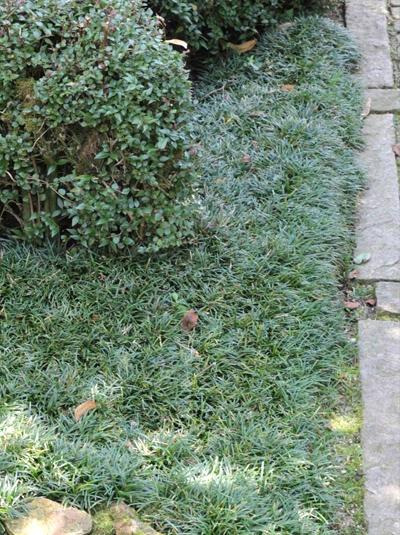 Ophiopogon japonicus 'Kyoto Dwarf' / Japanischer Schlangenbart
