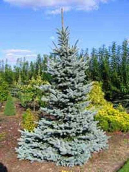 Picea pungens 'Glauca' / Blaue Stech-Fichte
