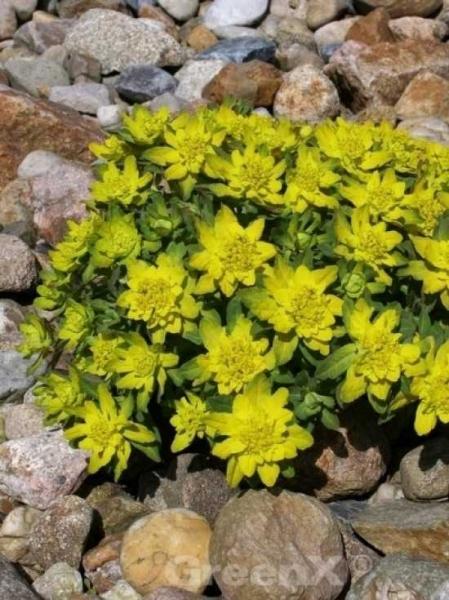 Euphorbia polychroma / Gold-Wolfsmilch