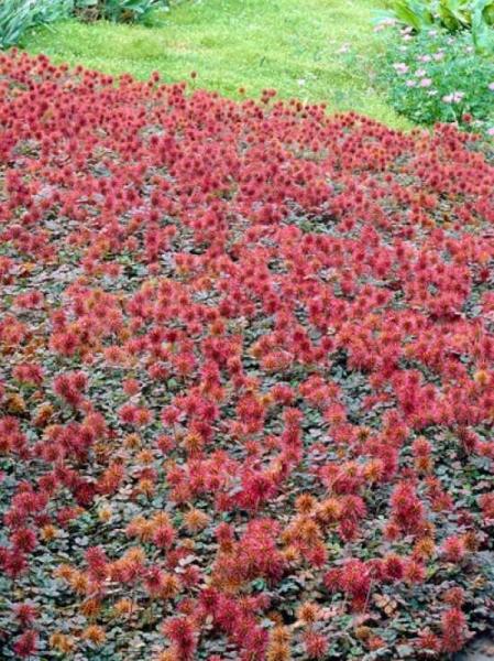 Acaena microphylla 'Kupferteppich' / Kupferrotes Garten-Stachelnüsschen