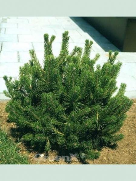Pinus Mugo Pumilio Zwerg Kiefer Günstig Kaufen