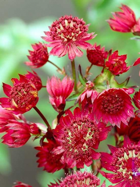 Astrantia major 'Ruby Wedding' / Sterndolde