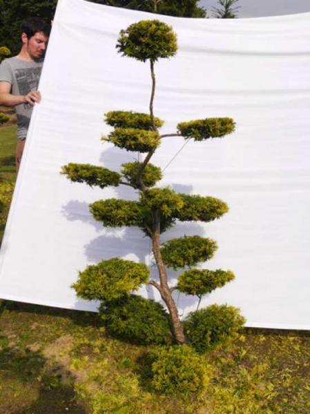 Taxus baccata 'Semperaurea' H: 160 cm B: 100 cm / Garten-Bonsai (0087)