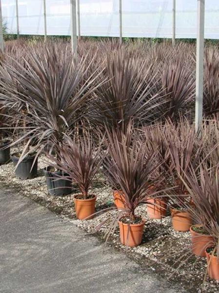 Cordyline australis 'Purpurea' / Keulenlilie 'Purpurea'