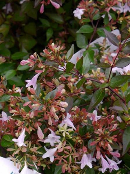 Abelia grandiflora 'Compacta' / Großblumige Abelie 'Compacta'