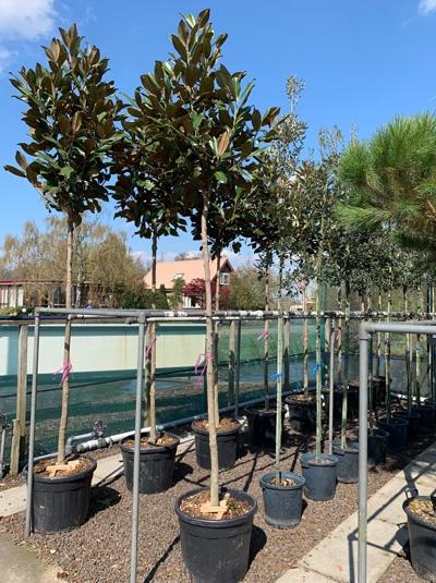 Magnolia grandiflora 'Exmouth' / Großblütige Magnolie 'Exmouth'