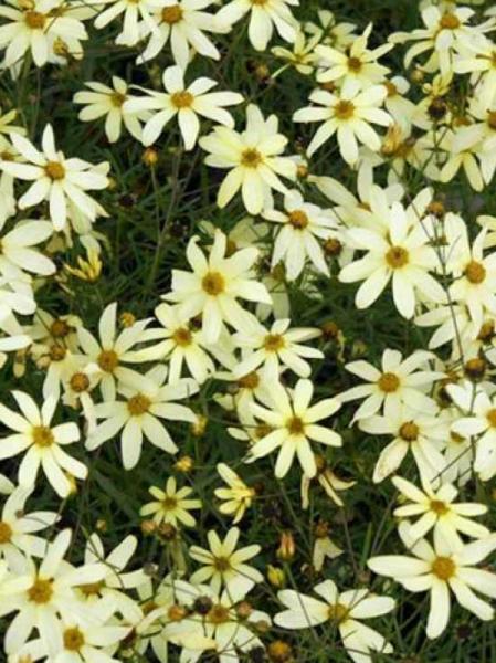 Coreopsis verticillata 'Moonbeam' / Quirlblättriges Garten-Schönauge 'Moonbeam'