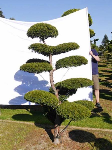 Taxus baccata 'Semperaurea' H: 210 cm B: 130 cm / Garten-Bonsai (0206)