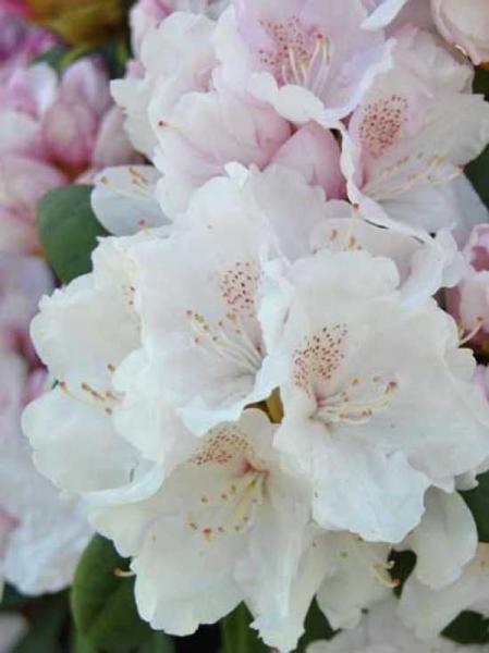 Rhododendron yakushimanum 'INKARHO Schneekrone' / Rhododendron 'INKARHO Schneekrone'