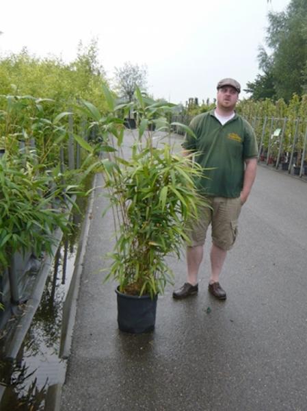 Pseudosasa japonica / Pfeilbambus 100-125 cm im 10-Liter Container