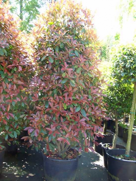 Photinia fraseri 'Red Robin' / Glanzmispel 200-250 cm im 110-Liter Container