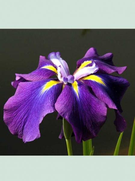 Iris kaempferi / Japanische Iris / Japanische Sumpf-Schwertlilie