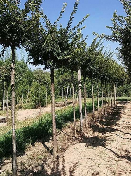 Prunus subhirtella 'Autumnalis' / Winterkirsche